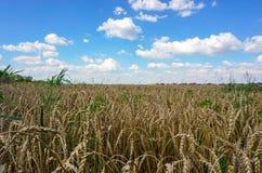 Het Gebied van de tarwe en blauwe hemel Stock Afbeelding
