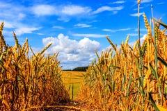 Het gebied van de tarwe en blauwe hemel met wolken Royalty-vrije Stock Fotografie
