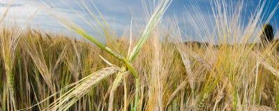 Het Gebied van de tarwe en blauwe hemel royalty-vrije stock fotografie