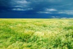 Het gebied van de tarwe en donkere hemel Royalty-vrije Stock Foto's