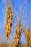 Het gebied van de tarwe en een lieveheersbeestje Royalty-vrije Stock Foto's