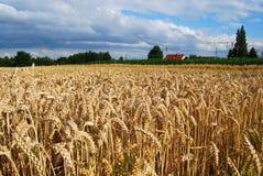Het gebied van de tarwe en landbouwbedrijfhuis Royalty-vrije Stock Afbeeldingen
