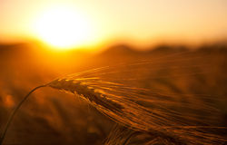 Het gebied van de tarwe in gouden zonsondergang Stock Foto
