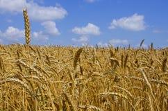 Het gebied van de tarwe graangewassen oogst op een landbouwgebied agrarische sector van productie stock foto
