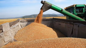 Het gebied van de tarwe Het leegmaken van Korrel aan de Vrachtwagen stock videobeelden