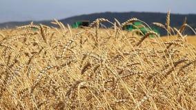 Het gebied van de tarwe Het Seizoen van de tarweoogst stock footage