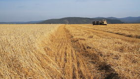 Het gebied van de tarwe Het Seizoen van de tarweoogst stock videobeelden
