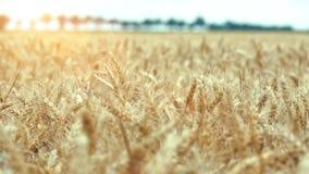 Het gebied van de tarwe klaar om worden geoogst stock videobeelden