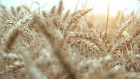 Het gebied van de tarwe klaar om worden geoogst stock footage