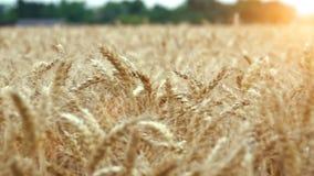 Het gebied van de tarwe klaar om worden geoogst stock video