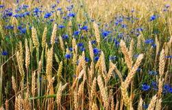 Het gebied van de tarwe met blauwe bloemen Royalty-vrije Stock Afbeeldingen