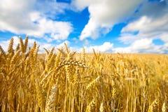 Het gebied van de tarwe met blauwe hemel op achtergrond Stock Foto's