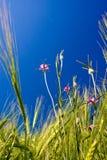 Het gebied van de tarwe met bloemen Royalty-vrije Stock Foto