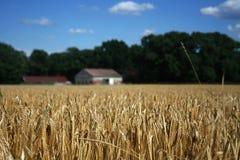 Het gebied van de tarwe met boerderij stock afbeeldingen