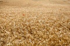 Het gebied van de tarwe met rode papaver stock foto's