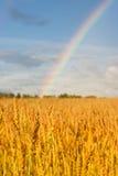 Het gebied van de tarwe na regen met regenboog Stock Afbeelding
