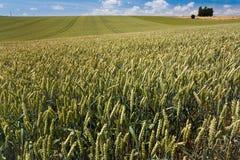Het gebied van de tarwe onder blauwe hemel Stock Foto