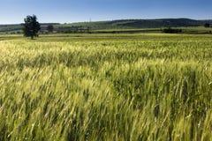 Het gebied van de tarwe onder blauwe hemel, op de zomer. Stock Foto's