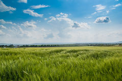 Het gebied van de tarwe onder de blauwe hemel Stock Foto