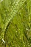 Het gebied van de tarwe op de lente Royalty-vrije Stock Foto