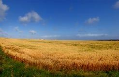 Het Gebied van de tarwe op Hoek Stock Foto
