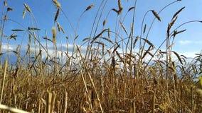 Het gebied van de tarwe op zonsondergang stock footage