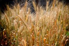 Het gebied van de tarwe De oren van gouden tarwe sluiten omhoog Landelijk landschap onder het glanzen zonlicht Achtergrond van ri Stock Foto