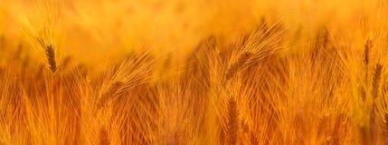 Het gebied van de tarwe De oren van gouden tarwe sluiten omhoog Mooie Aardzon royalty-vrije stock afbeeldingen