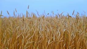 Het gebied van de tarwe De oren van gouden tarwe sluiten omhoog Het mooie Landschap van de Aardzonsondergang Landelijk landschap  Stock Fotografie