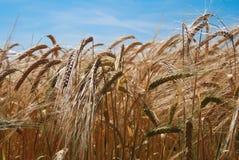 Het gebied van de tarwe De oren van gouden tarwe sluiten omhoog Rijk oogstconcept Textuur en achtergrond royalty-vrije stock fotografie