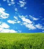 Het gebied van de tarwe over blauwe hemel stock afbeelding