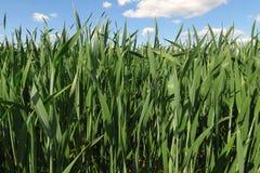 Het gebied van de tarwe tegen blauwe hemel stock afbeelding