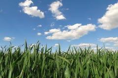 Het gebied van de tarwe tegen blauwe hemel Royalty-vrije Stock Foto's