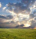 Het gebied van de tarwe tijdens stormachtige dag stock afbeelding