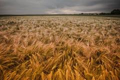 Het gebied van de tarwe tijdens zonsondergang Stock Foto's