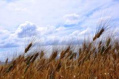 Het gebied van de tarwe in Toscanië, Italië Stock Afbeeldingen