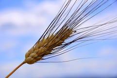 Het gebied van de tarwe in Toscanië, Italië Royalty-vrije Stock Afbeeldingen