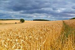 Het gebied van de tarwe vlak vóór de oogst stock fotografie