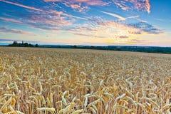 Het gebied van de tarwe vlak vóór de oogst Stock Foto's