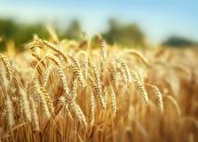 Het gebied van de tarwe in de zomer Stock Afbeelding