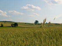 Het gebied van de tarwe in zonlicht Royalty-vrije Stock Afbeeldingen