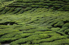 Het Gebied van de thee stock fotografie