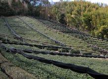 Het gebied van de thee en bamboebos stock foto's