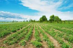 Het gebied van de tomaat Royalty-vrije Stock Foto's