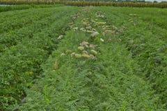 Het gebied van de tot bloei komende wortelen Stock Afbeelding