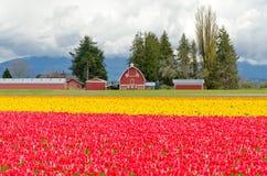 Het Gebied van de tulp. Stock Afbeeldingen