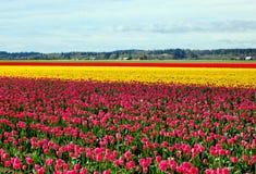 Het gebied van de tulp stock afbeeldingen