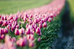 Het gebied van de tulp stock fotografie