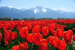 Het gebied van de tulp in de lente Stock Afbeelding