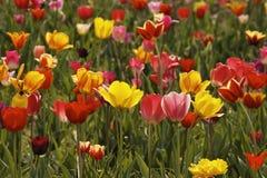 Het gebied van de tulp in Duitsland Stock Foto
